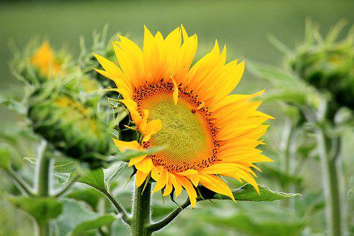 Sun Flower, Blossom, Bloom, Yellow, Summer, Plant