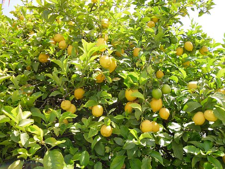 Lemon Tree, Tree, Lemon, Nature, Yellow