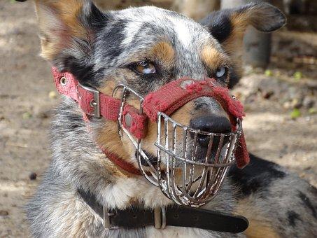 Dog, Australia, Muzzle, Breeding, Aggressive