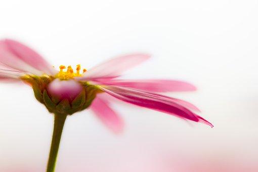 Marguerite, Blossom, Bloom, Fragrant, Tender, Macro