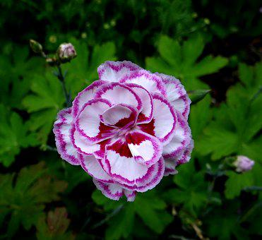 Gran's Favourite, Carnation, White-laced Carnation