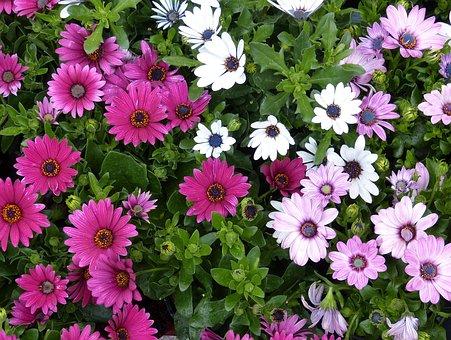 Marigold, Flower, Purple, Gardening