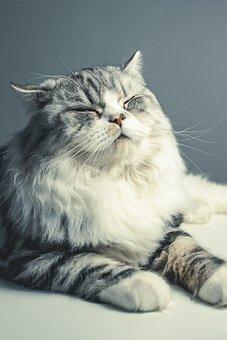 Cat, Persian Breed, Black Grey, Pets, Close Your Eyes