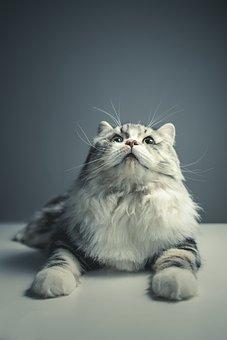 Cat, Persian Breed, Black Grey, Pets