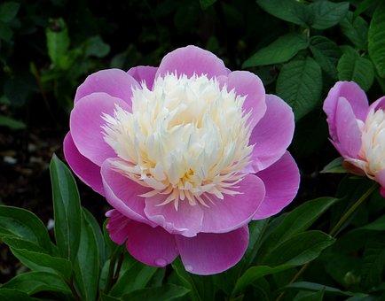 Peony, Pink White Peony, Flower, Paeonia