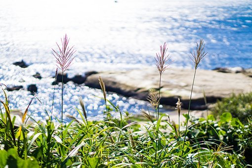 Japanese Silver Grass, Plant, Grass, Susukino, Natural