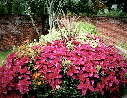 Red Coleus, Flowers, Garden, Plants, Tropical, Blooming