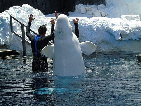Beluga, Aquatic, Animal, Aquarium, Zoo