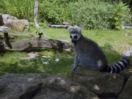 Lemur, Zoo Dresden, Summer, Animal