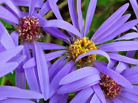 Arctic Aster, Wild, Flowers, Nature, Plant, Meadow