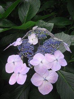 Hydrangea, Blue, Pink, Flower, Blossom, Bloom