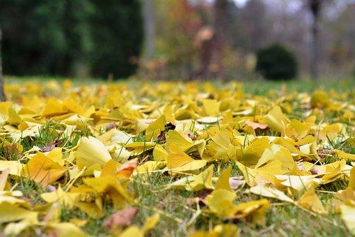 Foliage, Falling, Autumn, Ginkgo, Yellow Leaves