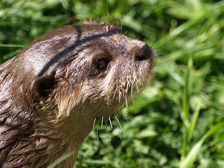Otter, Nature, Fur, Snout, Animal, Head