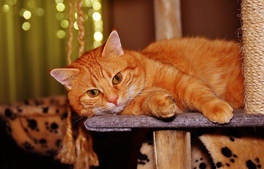 Cat, Red, Funny, Cute, Mackerel, Tiger, Sweet, Cuddly