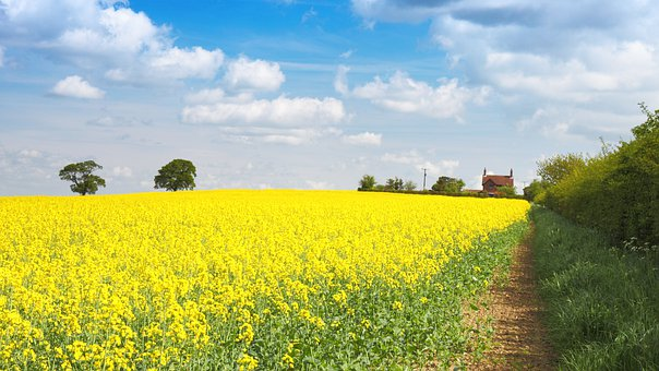 Agriculture, Background, Bloom, Blossom, Crop, Farming