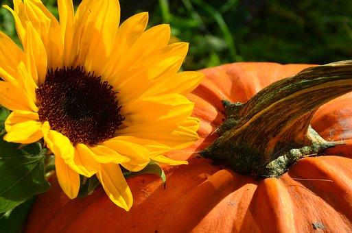 Sun Flower, Harvest, Pumpkin, Yellow, Autumn, Eat