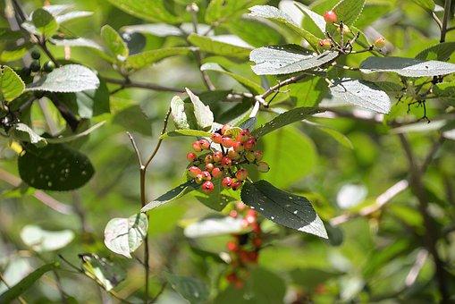 Fuzzy Snowball, Red, Toxic, Berries, Viburnum Lantana