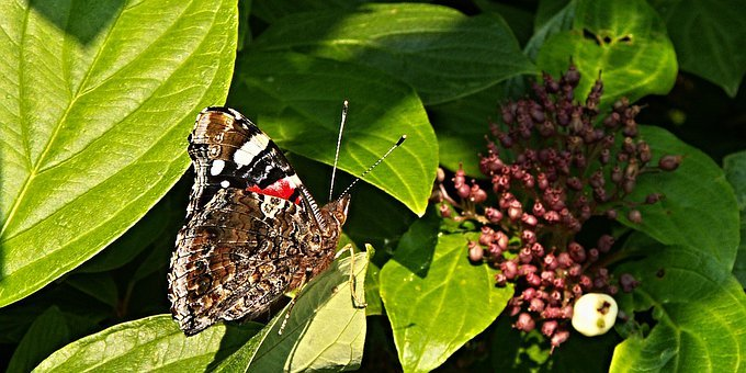 Butterfly, Viburnum, Bush, Foliage, Berry, Macro