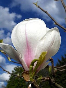 Magnolia, Blossom, Bloom, Pink, White, Grow, Close Up