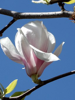 Magnolia, Blossom, Bloom, Pink, White, Grow, Close