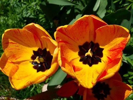 Tulips, Orange, Yellow, Light, Blossom, Bloom, Flower