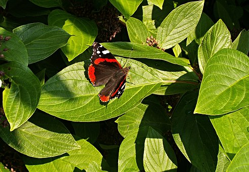Butterfly, Bush, Foliage, Viburnum, Flying Insects
