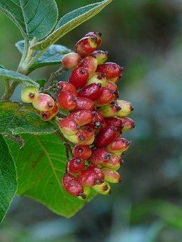 Berries, Fuzzy Snowball, Fruits, Ripe, Red, Bush