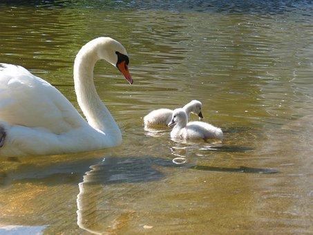 Cygnons, Swan, Park, Garden, Director, Bird, Animal