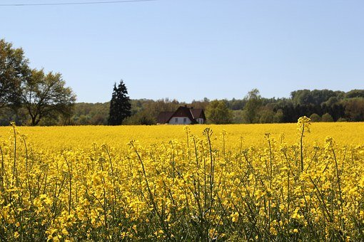 Field Of Rapeseeds, In Bloom, Farm, Rape Blossom