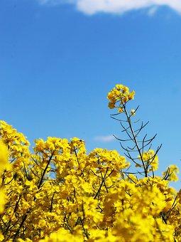 Oilseed Rape, Field Of Rapeseeds, Crops, Yellow