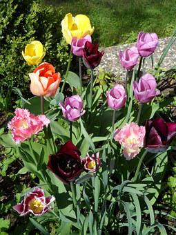 Flower Bed, Tulips, Orange, Red, Violet, Purple, Yellow