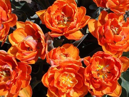 Tulip, Filled, Orange, Bright, Blossom, Bloom, Flower