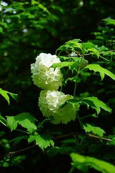 Real Snow Ball, Bush, Flowers, Leaves, White, Green