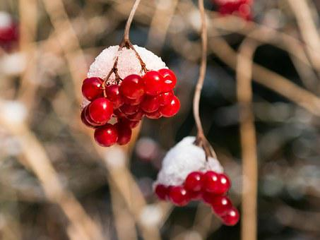 Berries, Red, Winter, Snow, Hood, Common Snowball