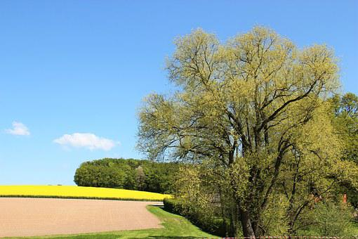 Field Of Rapeseeds, Tree In Blossom, In Bloom, Yellow