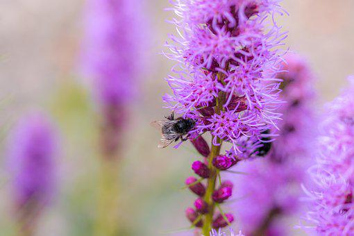 Liatris Spicata, Splendor Notch, Hummel, Insect, Shrub
