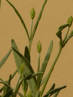 Lavender, Lamiaceae, Plant, Crop, Fragrance, Smell