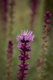 Liatris Spicata, Splendor Notch, Shrub, Flower, Plant