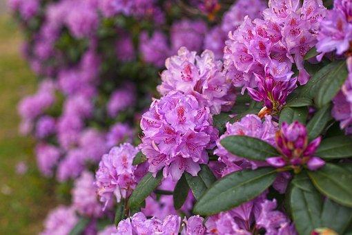 Rhododendron, Pink, Purple, Nature, Splendor, Bright