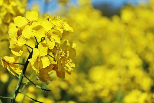 Oilseed Rape, Field Of Rapeseeds, Yellow, Crops