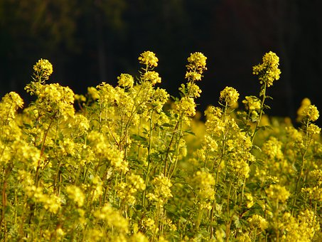 Oilseed Rape, Field Of Rapeseeds, Blossom, Bloom, Plant