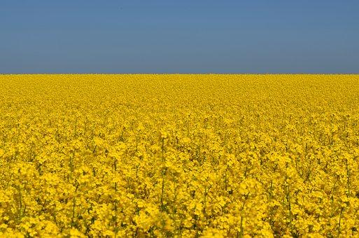 Oilseed Rape, Sky, Field Of Rapeseeds, Yellow
