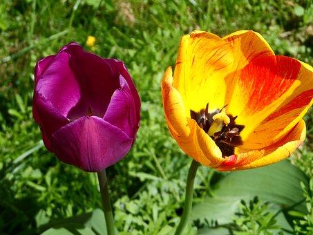 Tulip, Orange, Red, Violet, Purple, Shining, Blossom