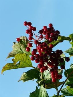 Ordinary Snowball, Berries, Red, Ripe, Fruits