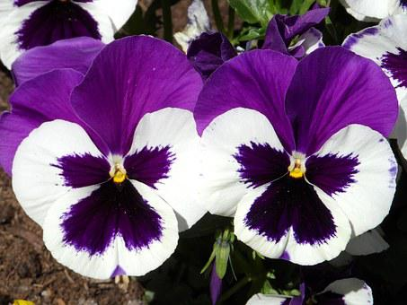 Pansy, Violet, Purple, White, Shining, Blossom, Bloom