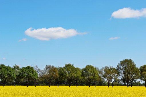 Oilseed Rape, Field Of Rapeseeds, Yellow, Crops, Plant