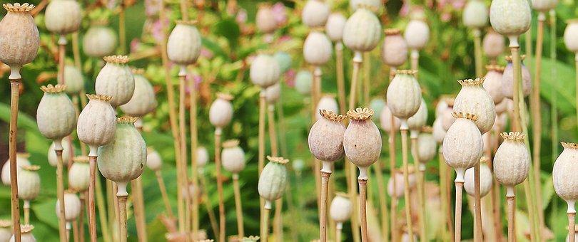 Poppy, Poppy Butt, Plant, Flower, Nature, Mohngewaechs