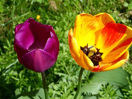 Tulip, Orange, Red, Violet, Purple, Light, Blossom