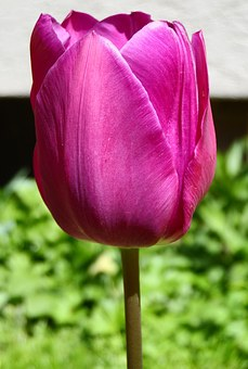 Tulip, Violet, Purple, Bright, Blossom, Bloom, Flower