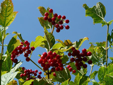 Berries, Ordinary Snowball, Red, Ripe, Fruits